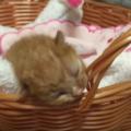 子猫の目が開かない7つの原因と対処法。通常は2週間ほどで開きます