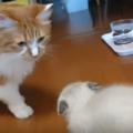子猫と先住猫の取っ組み合いはどういう意味?噛むことについて