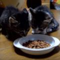 ご飯を与えすぎ?子猫の食べ過ぎ目安。下痢や嘔吐になったら要注意